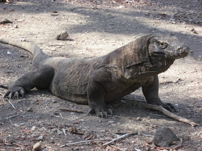 Komodo Dragons Up Close And Personal Travel Happy